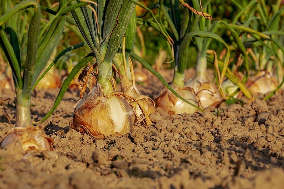 Bomba United Farmers